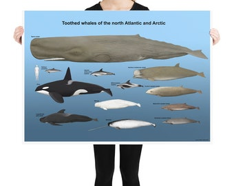 Toothed whales of the north Atlantic and Arctic