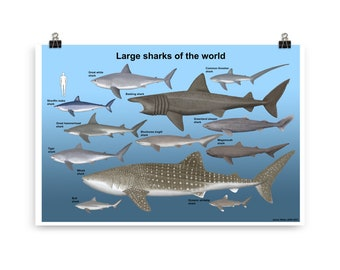 Large sharks of the world poster