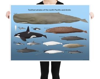 Toothed whales of the north Pacific and Arctic poster