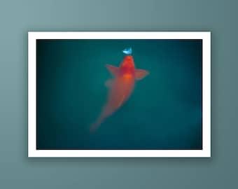 Koi fish fine art print, Asian spirit photography print, Singapore koi fish fine art print by Jennifer Esseiva.