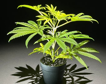 25cm Artificial Marijuana Faux Cannabis Hemp Replica Plant in Pot