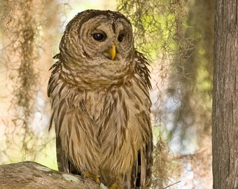 Canvas - Barred Owl at Sunrise - Birds of Prey - Nature Images - Wildlife Photography - Silent Flyer - Talon - Camouflage - Facial Disk