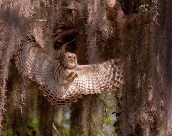 Notecards - Barred Owl Landing Photo Cards - Birds of Prey in Flight - Bird Photography - Bird Images - Feathers