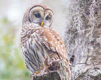 Notecards - Barred Owl Posing Prettily Photo Cards - Bird Photography - Barred Owl in Early Morning Light - Birds of Prey - Sitting in Tree
