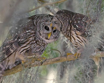 Canvas - Wildlife Photography - Loving Barred Owl Pair - Courting Barred Owls - Birds of Prey - Nature Images - Great Valentine's Day Gift