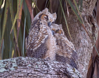 Notecards - Great Horned Owlets in Tree Photo Cards - Bird Photography - Birds of Prey - Cuddling - Baby Owls - Young Owls