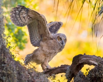 Notecards - Great Horned Owlet Branching in Tree Photo Cards - Bird Photography - Birds of Prey - Fledgling - Young Owl - Stretching Wings