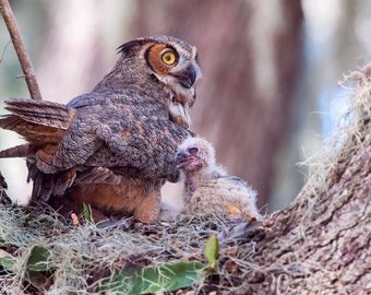 Notecards - Great Horned Owl and Babies in Tree Nest Photo Cards - Bird Photography - Birds of Prey - Young Owlets - Newborn