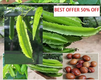35 Winged bean Seeds 100/% Heirloom seeds Non GMO