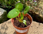 Chinese money plant,baby money plant,baby plants,house plants,Pilea peperomioides,plants to attract prosperity,thoughtful gift
