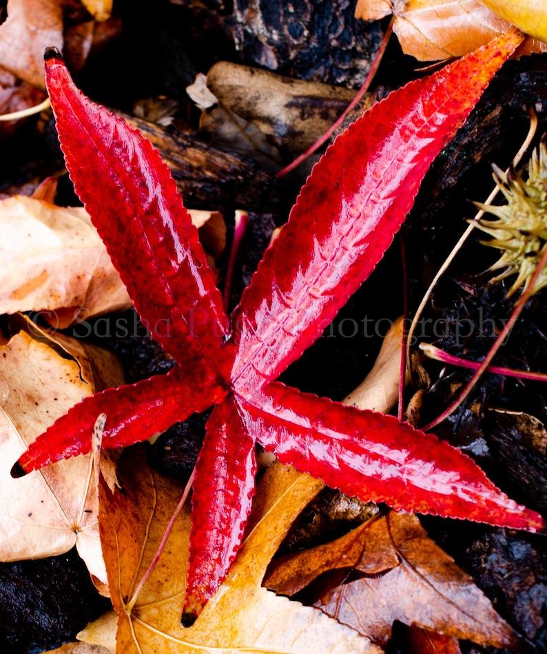 Red Star Leaf