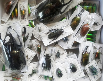 REAL BEETLE MIX! Assortment of 5 tropical beetles from Thailand, Indonesia, Peru, and More!!!