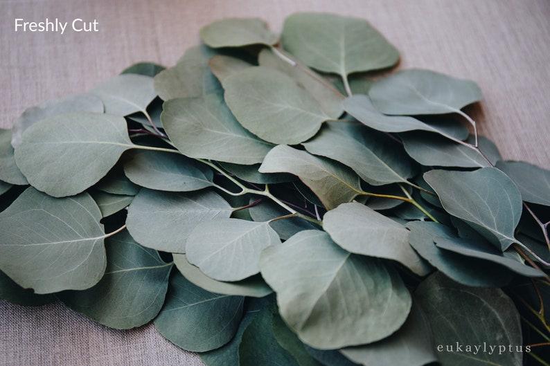 Loose Silver Dollar Eucalyptus Stems  Freshly Cut or Dried image 0