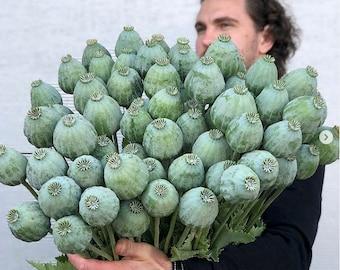 Organic Giant Rattle Poppy ' GIGANTEUM ' 20/pkt