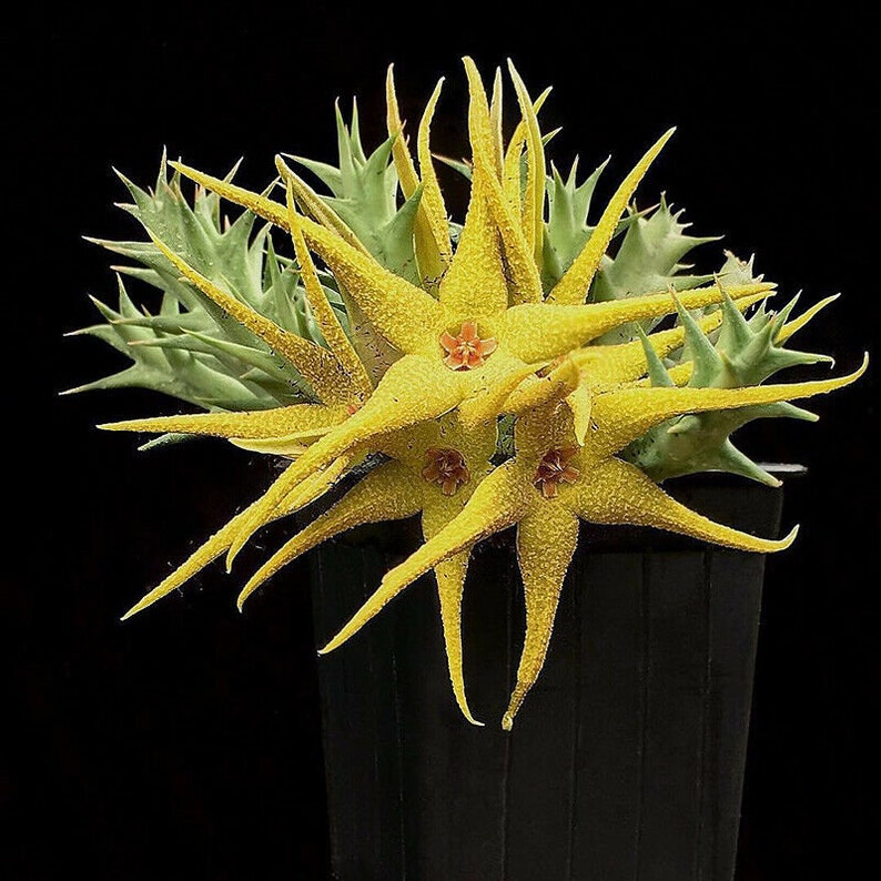 Rare succulent Plants live plants 5-7cm Yellow Orbea caudata