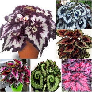 SET Begonia seeds Boliviensis Copacabana F1 3 in 1 Flower Seeds from Ukraine