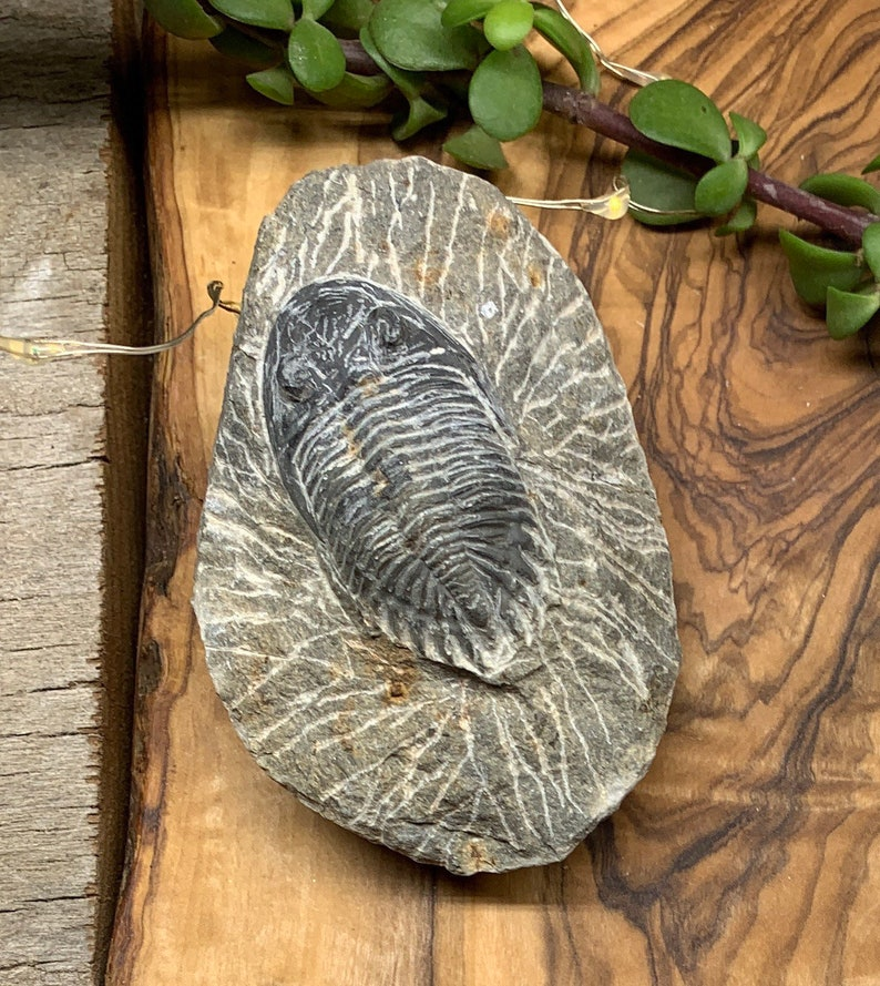 Trilobite Fossil FRE-0087