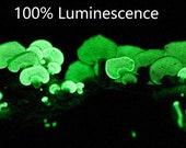 100% Luminescence Ghost Mushroom Bitter Oysters Panellus stipticus Glowing Mushroom Live Culture Live Mythicies on Agar