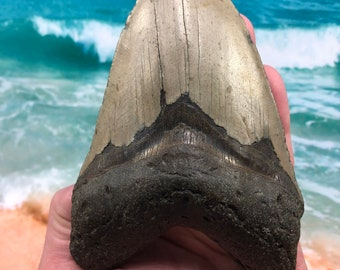 """5.56"""" Real Fossil Megalodon Shark Tooth-SCUBA DIVER DIRECT —"""