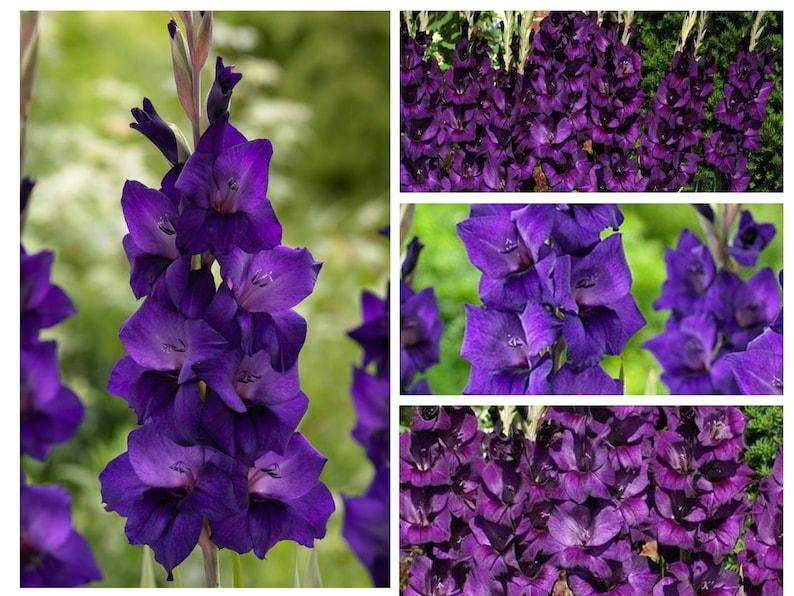 5 Gladiolus /'Purple Flora/' Size 1214cm Ship Early Spring