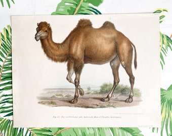 Animal Natural History original hand colored print of Camels over 150 years old Rare find
