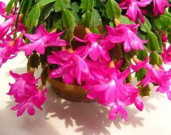 5 Christmas Cactus Cutting  Christmas Cactus     Schlumbergera   Zygocactus   Thanksgiving cacti   Easter cacti   House plant   Indoor plant