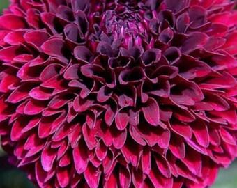 Kenora Macob black dahlia seeds  10 per pack USA grown and shipped