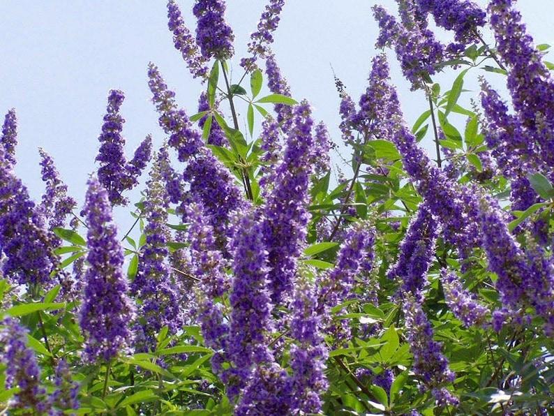 Texas Lilac Beautiful Fragrant Drought Tolerant Hardy Shrub Vitex Seeds Agnus-castus Chaste Tree Chaste Tree Berries