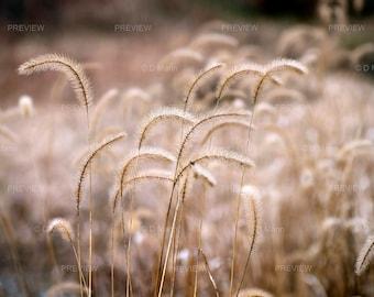 Digital Download Wall Art Photography. Ornamental Grass. Foxtail grass (Setaria viridis) backlit by winter light. Selective focus. You print