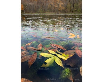 Digital Download Wall Art Photography. Colorful autumn leaves floating on pond water. Deep perspective vertical view. You print.