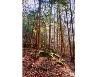 Digital Download Wall Art Photography.  Photograph of tall pine trees on northern hillside surrounded by moss covered rocks. You Print.