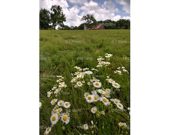 Digital Download Wall Art Photography. Pasture Wildflowers. Daisy fleabane in farm pasture on sunny summer day. You print.