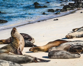 Nature Puzzles.  1000 piece Adult jigsaw puzzles.  Unique large scenic Galapagos sea lions picture . Family entertainment