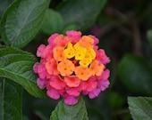 Live LANTANA LUCKY SUNSET ROSe In Bloom 4-8 quot Flower Plants Spring garden