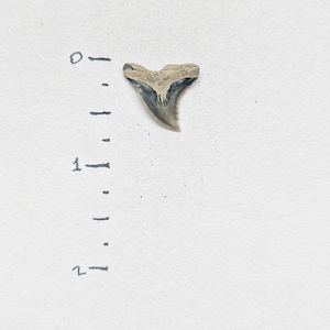 REAL Fossilized Shark Tooth Extinct Snaggletooth Hemipristis Serra Found at Calvert Cliffs 1 Hemi Shark Tooth