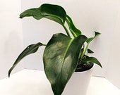 6 Pot Philodendron Congo Green Tropical Houseplants Easy Care Plants Free Shipping