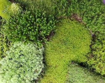 "Live Moss Grab Bag Fresh Green Healthy for Terrariums Houseplants Fairy Garden Gifts Succulants Vivarium Mood Sheet 9""×6"" Bag Free Shipping"