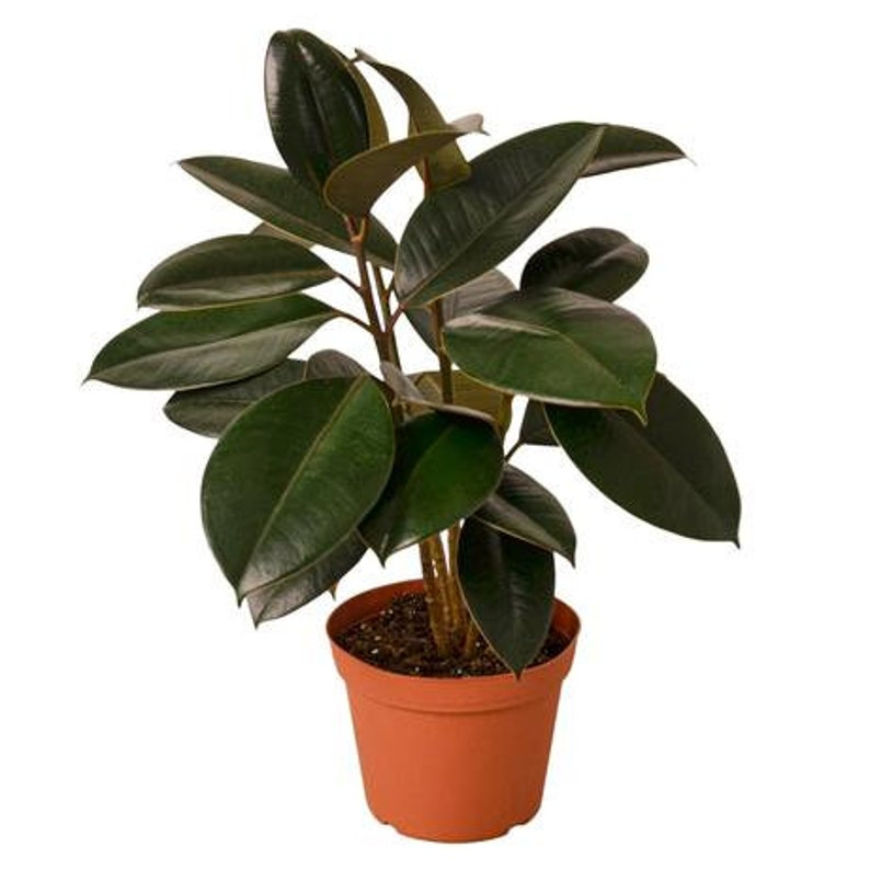 Ficus Elastica 'Burgundy' '4 Pot