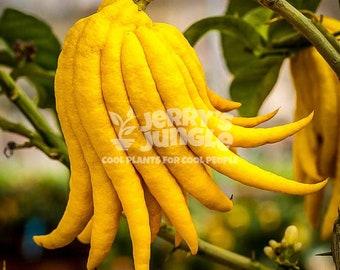 Buddha Hand Citrus Tree