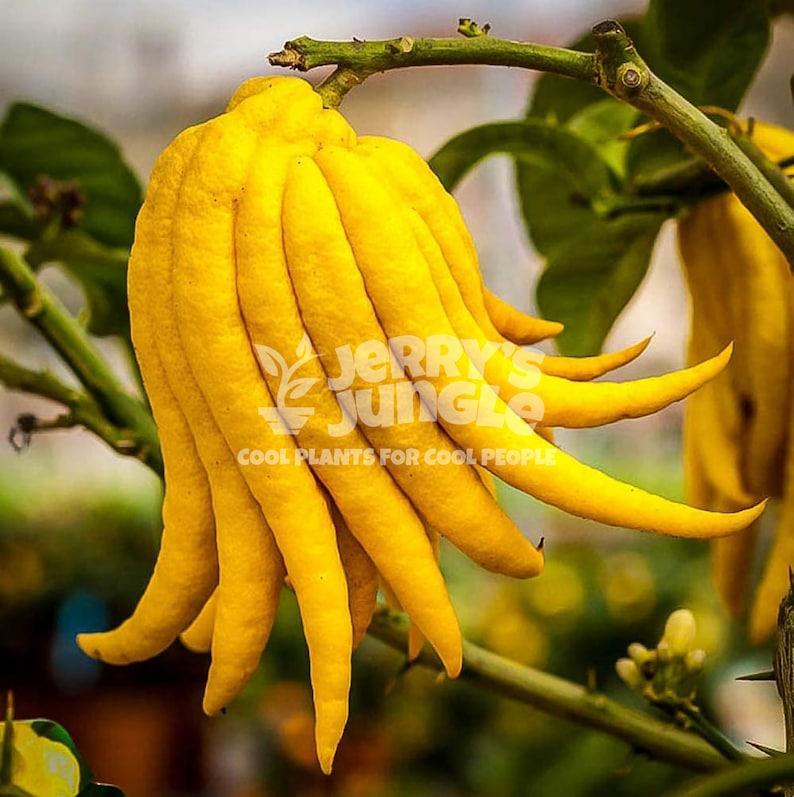 Buddha Hand Citrus Tree image 1