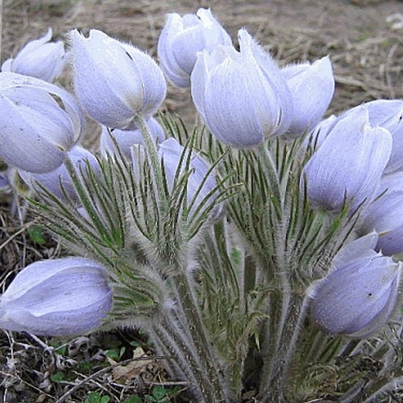 Pasque flower seed wild flower