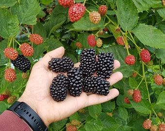 Von Thornless Blackberry - Live Plant 4-6 inch Planter - Fruit Bush - Edible Blackberry - Blackberry Plant - Thornless Blackberry Plant