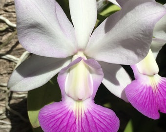 Cattleya walkeriana semi-alba 'Carmela'