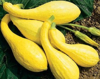 Organic Crookneck Squash Seeds, Early Summer Squash, Mild and Sweet Squash, Yellow Squash Seeds, Organic Vegetable Seeds, Garden Seeds
