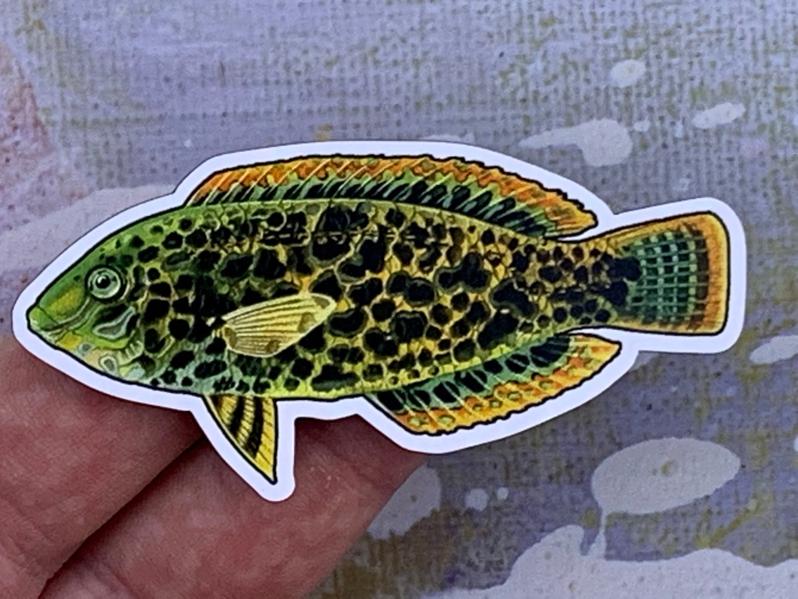 Photo of a black-spotted wrasse magnet in someone's hand