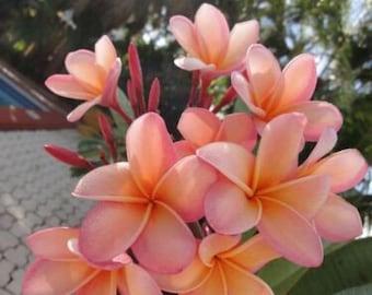 Light Pink Orange Plumeria Seeds Plants Flower Flowers Seed 5pcs