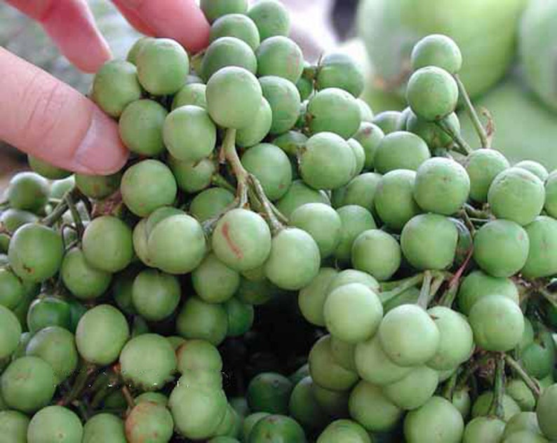 100/% Live Egg plant seeds Best seeds for garden Solanum torvum Turkey berry Thai Pea Eggplant devil/'s fig 100 Pea Eggplant Seeds