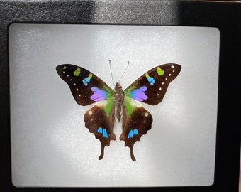 Set of 2 graphium Weiskei of New Guinea naturalized under white lacquered wood frame-decoration-birthday-Curiosites-Entomology