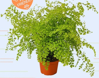 """LIVE Maidenhair Fern Plant in 4"""" Inch Growers Pot Indoor Evergreen Houseplant"""