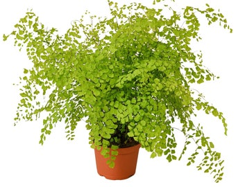 """LIVE Maidenhair Fern Plant in a 6"""" Growers Pot Indoor Evergreen Houseplant"""